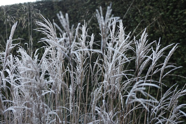 frosted-miscanthus-at-veddw_-copyright-anne-wareham