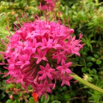 Valerian-flower-Copyright-Anne-Wareham-Veddw.jpg