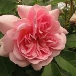Rosa-Felicia-Copyright-Anne-Wareham-Veddw-