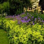 Geraniums-alchemilla-mollis-and-rodgersia-at-Veddw-copyright-Anne-Wareham.