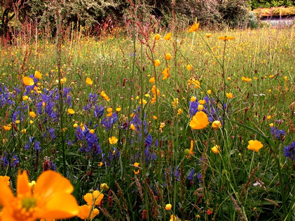 June 2013 084 meadow at Veddw, Brodiaea corrina and buttercups Copyright Anne Wareham
