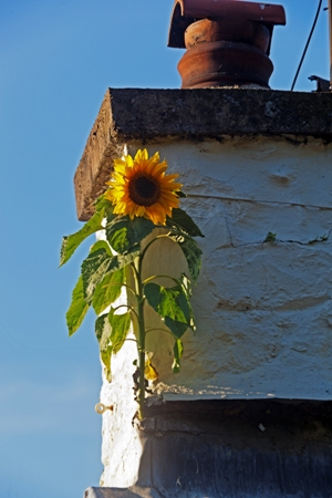 Veddw House Garden, Monmoutshire, Wales, UK. Garden designed and created by Anne Wareham and Charles Hawes. August. Self seeded sun flower growing in chimney Copyright Charles Hawes