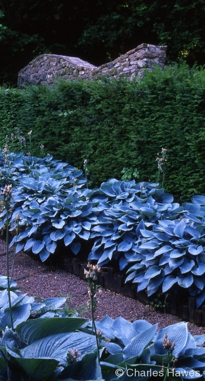 Veddw - South Garden - Hosta Walk
