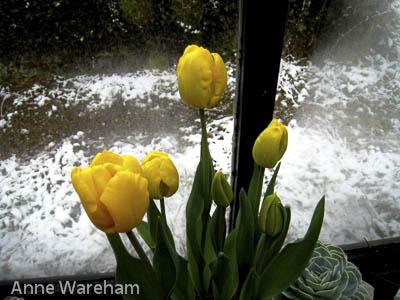 Tulip, Veddw Conservatory copyright Anne Wareham