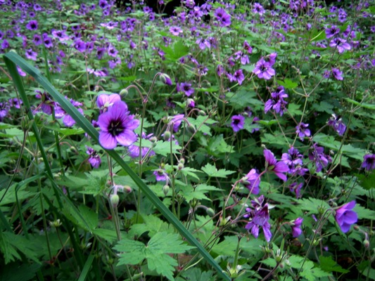 Geranium procurrens in Cotoneaster Walk, Veddw. Copyright Anne Wareham