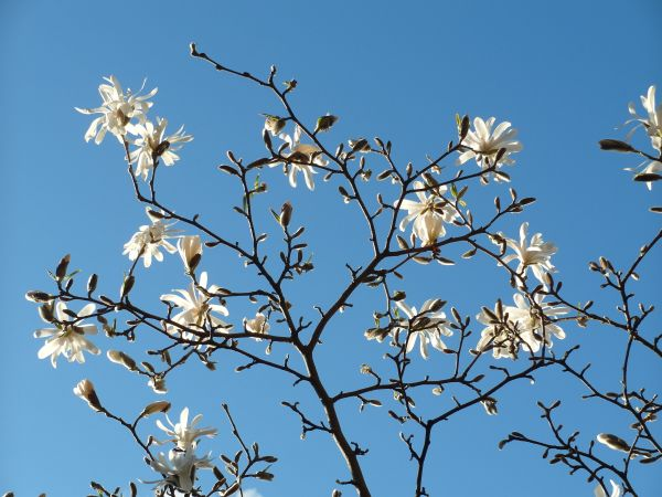 Magnolia Stellata at Veddw Copyright Anne Wareham