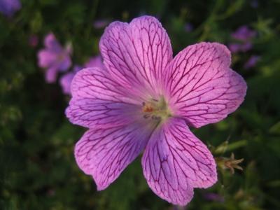 Geranium versicolor seedling, Veddw copyright Anne Wareham