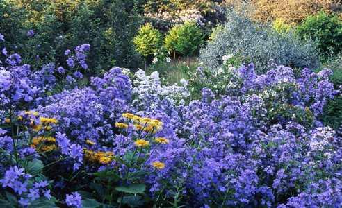 Campanula Lactiflora at Veddw copyright Charles Hawes
