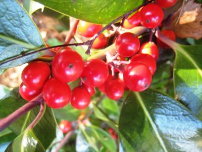 Cotoneaster berries, Veddw, copyright Anne Wareham