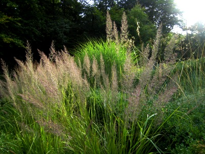 Grasses at Veddw. Copyright Anne Wareham