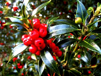 Holly berries copyright Anne Wareham, Veddw garden, Monmouthshire, South Wales, Welsh garden, garden blog. Welsh garden blog