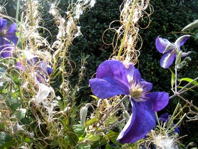 Late clematis at Veddw garden, Wales