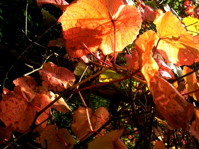 http://veddw.com/wp-content/uploads/2012/11/Vitis-cognetiae-Veddw-Monmouthshire-South-Wales-Garden-copyright-Anne-Wareham.jpg