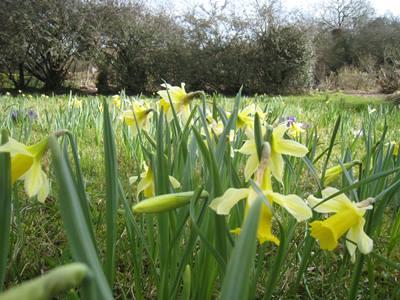 Daffodils in meadow at Veddw, copyri