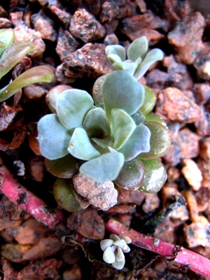 Succulents in conservatory Veddw  May 2013 Veddw © Anne Wareham