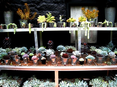 Succulents May 2013 Veddw © Anne Wareham