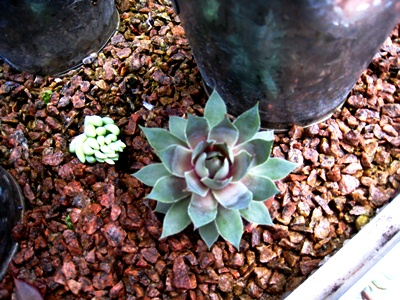 Succulents in conservatory Veddw  May 2013 007  Veddw © Anne Wareham