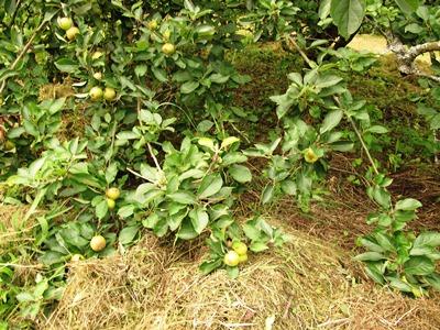 August 2013 Veddw South Wales Garden Attraction, copyright Anne Wareham 013 Hay mulching under apple trees s