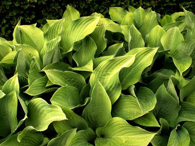August 2013 Veddw copyright Anne Wareham Hosta Krossa Regal