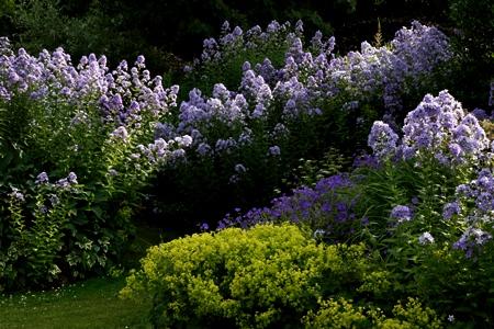 Campanula-geranium-alchemilla-at-Veddw