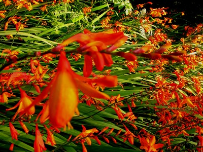 Crocosmia-masoniorum-Veddw-September-2013-copyright-Anne-Wareham