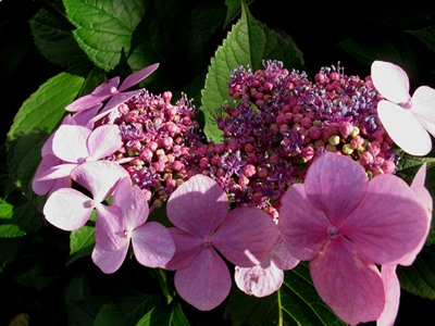 Hydrangea Blue Wave Veddw Copyright Anne Wareham 7th Sept