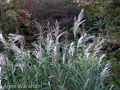 Miscanthus flowers,Veddw, Copyright Anne Wareham 063