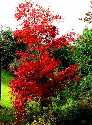 Maple November Veddw Copyright Anne Wareham s.jpg