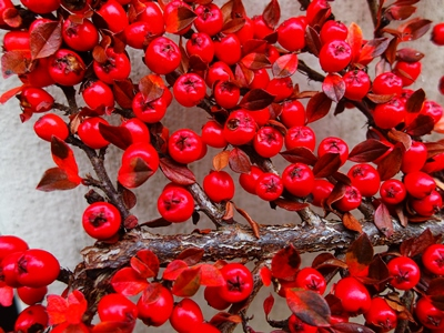 Cotoneaster Berries, Veddw copyright Anne Wareham