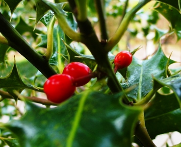 Holly Berries Veddw copyright Anne Wareham