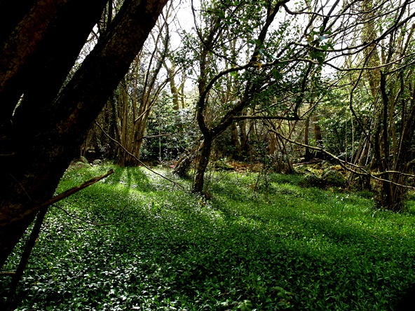 Shadow in coppice Mid April Veddw Copyright Anne Wareham