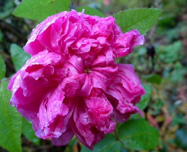 An autumn rose at Veddw, copyright Anne Wareham.