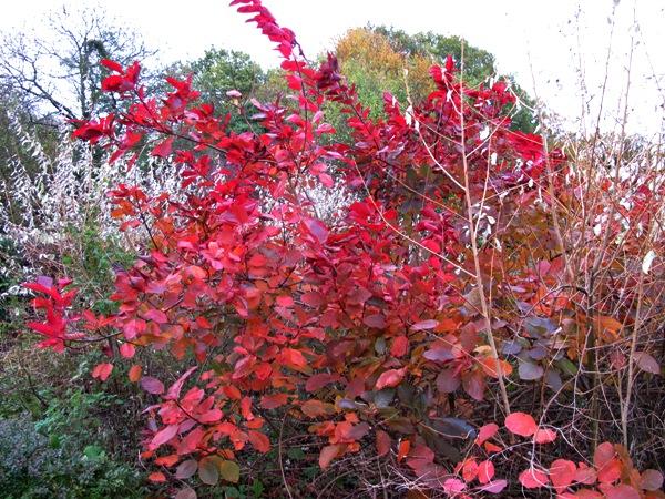 Cotinus Autumn Veddw Copyright Anne Wareham