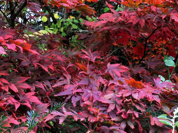 Maple by ruin leaves autumn colour November Veddw Copyright Anne Wareham