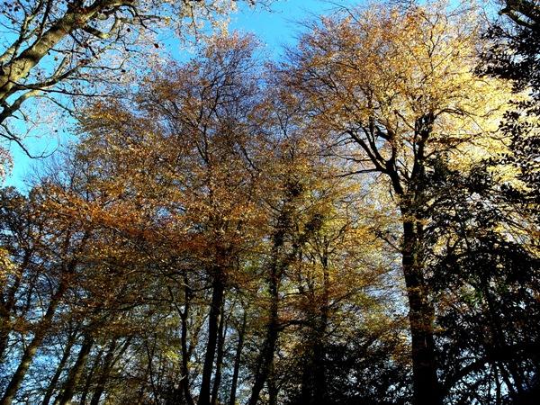 Wood- beech trees  Veddw, copyright Anne Wareham