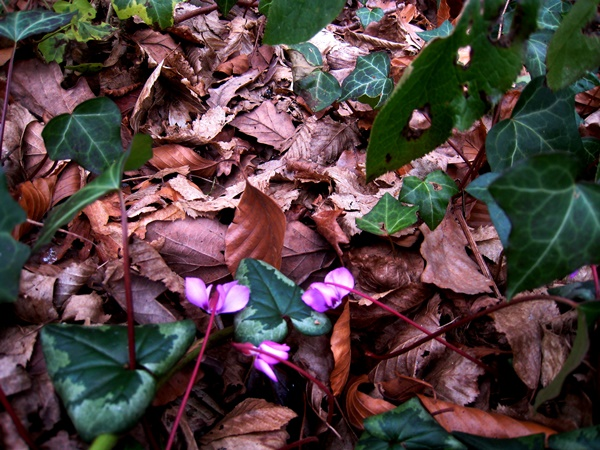 Ivy and dead leaves, at Veddw, Copyright Anne Wareham