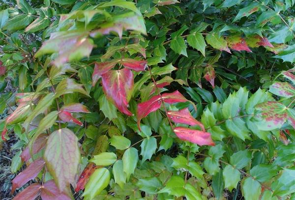 Mahonia leaves  Veddw, Copyright Anne Wareham