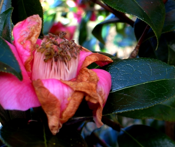 Camellia 'Donation' at Veddw Copyright Anne Wareham SAM_9623