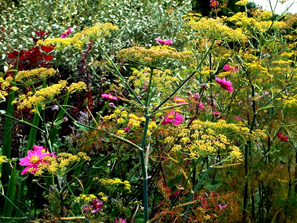Fennel and Japanese anemones Early August Veddw Copyright Anne Wareham 005