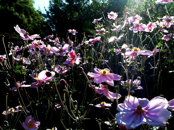 Japanese anemones Late August 2014 Veddw, Copyright Anne Wareham