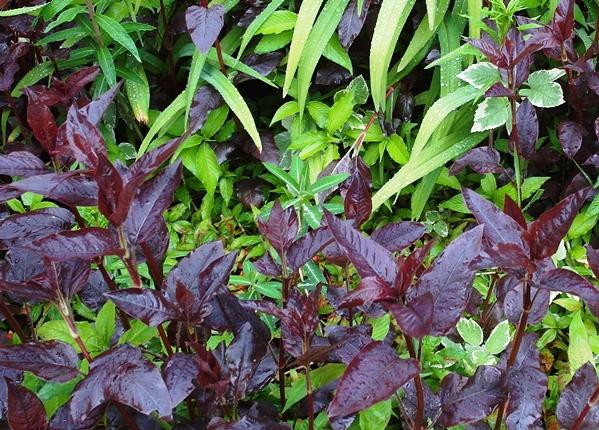 Euphorbia at Veddw Copyright Anne Wareham SAM_0632