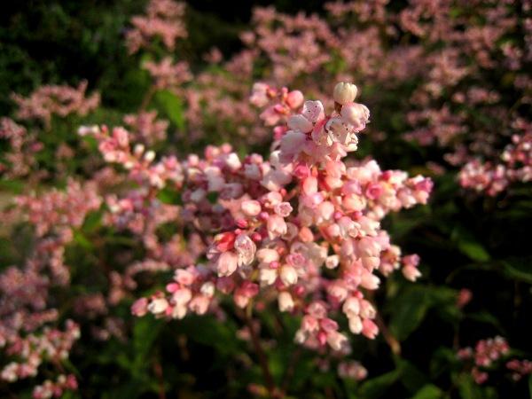 Pink Persicaria campanulatum at Veddw.