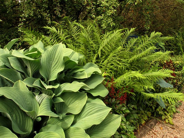 Hosta Krossa Regal in Charles' plot Veddw, copyright Anne Wareham