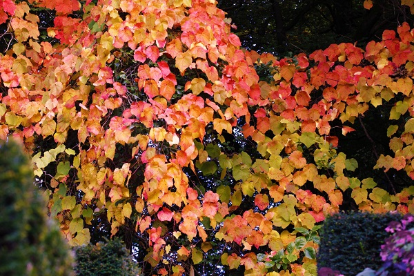 autumn-leaves-veddw-copyright-anne-wareham_