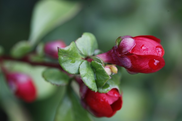 chaenomeles-at-veddw-copyright-anne-wareham
