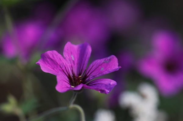 geranium-procurrens-veddw-copyright-anne-wareham